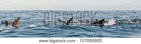 The Cape Cormorants