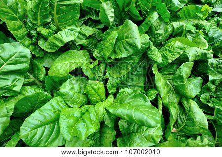 green sliverbeet plant grow in vegetable garden