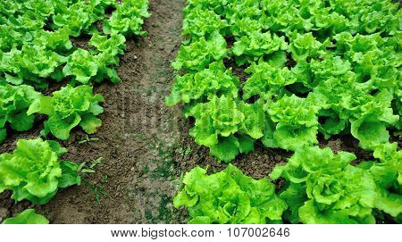 green lettuce crops in growth at garden