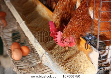 Chicken On Traditional Poultry Farm
