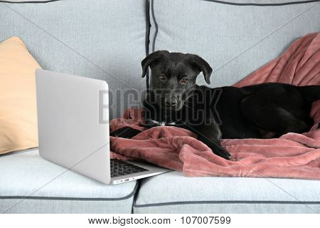 Adorable young black Labrador lying near notebook on sofa