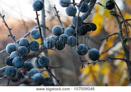 Dry Blackthorn