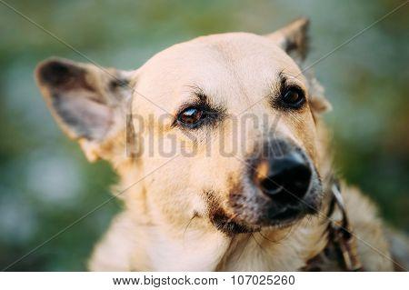 Mixed Breed Medium Size Brown Dog Close Up