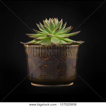 Potted miniature succulent plant isolated on black background