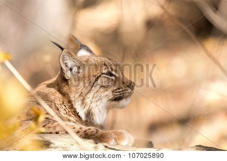 Lynx Portrait During The Autumn