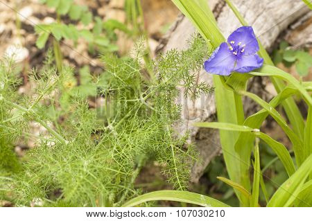 Small Flower Violet