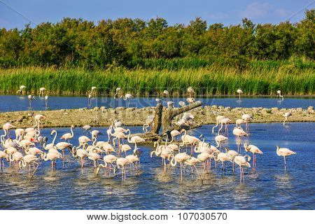 Exotic birds sleeping in a shallow lake. Flock of  pink flamingos. Sunset in the Camargue national park. Rhone Delta, Provence, France
