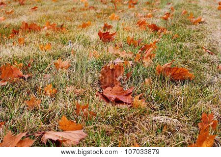 autumn color on the grass and leaves