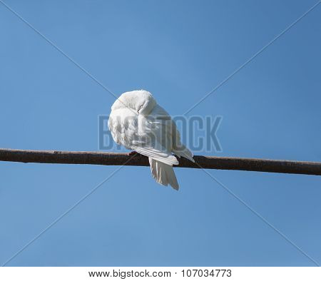 White Dove Sleeps On A Branch