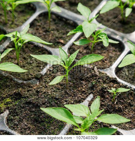 Chili Pepper Seedling In Pot Plant