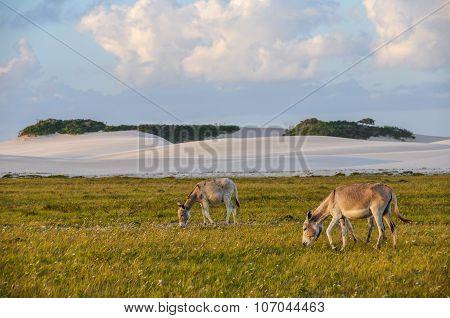 Donkeys In Lencois Maranheses, Brazil