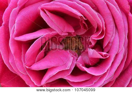 Beautiful Pink Rose Closeup