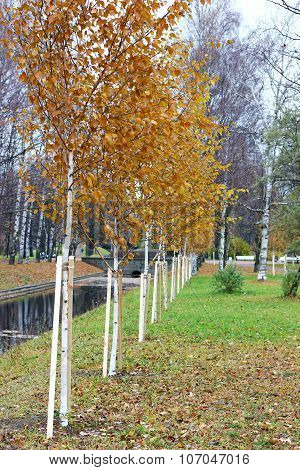 a straight row of planted young birch trees