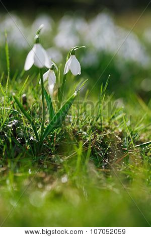 sparkly snowdrop flower soft focus, perfect for postcard