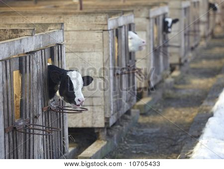 Cow Farm Agriculture Bovine Milk