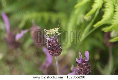 Grasshopper Over  Lavender Flower