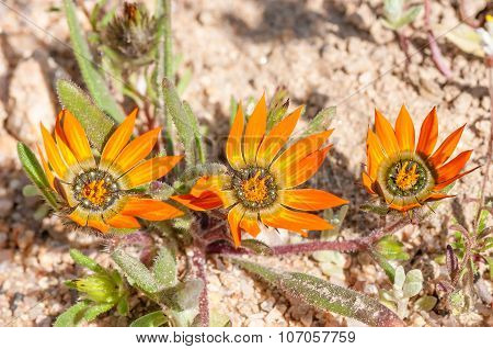 Indigenous Flowers Of The Family Asteraceae