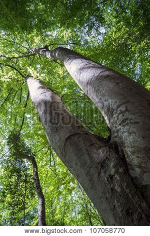 The Double Trunk Of Hornbeam In The Woods.