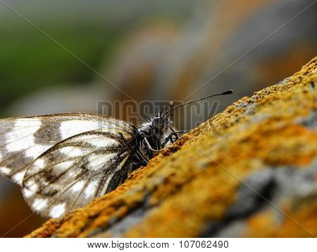Forest White butterfly