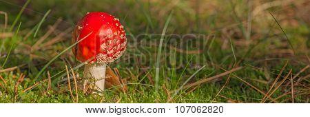 Fly Agaric Fungi, Amanita muscaria