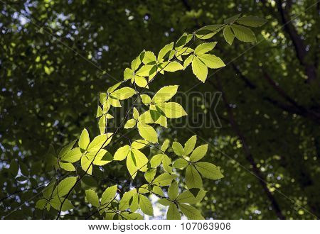Branch Of Hornbeam With Brightly Lit Leaves