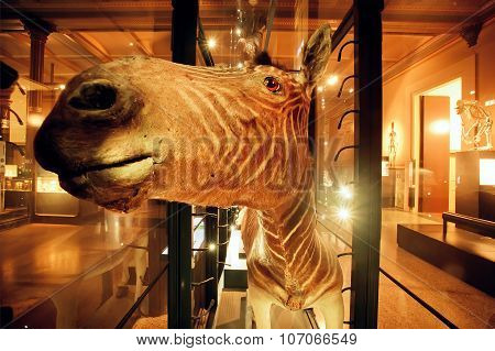 Muzzle Of Zebra Inside Hall Of Naturkundemuseum
