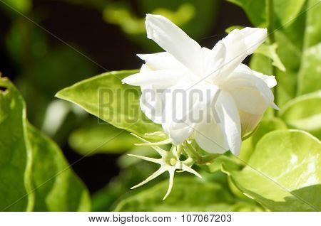 Jasmine Bloom In Garden