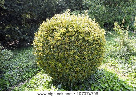 Ornamental Shrub In The Form Of  Light Green Ball