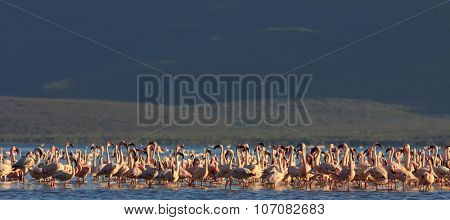 Flamingo flock: Greater and Lesser Flamingos, Kenya