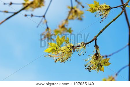 Acer Negundo Branch With Flowers In Spring
