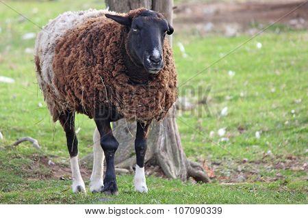 Annoyed Sheep
