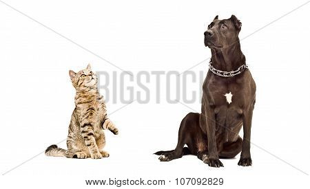 Cat Scottish Straight and Staffordshire Terrier sitting together