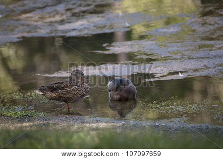 Pair Of Ducks In The Pond
