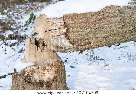 Snowy Winter Tree Trunk Fallen By Beaver
