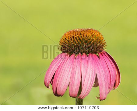Purple Coneflower against bright green summer background, with copy space