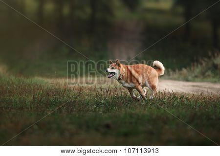 Dog Breed Red Japanese Shiba