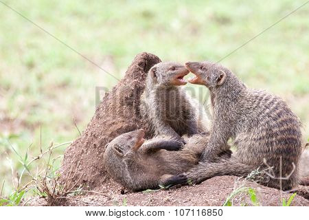 Banded mongooses fighting on a termite mound