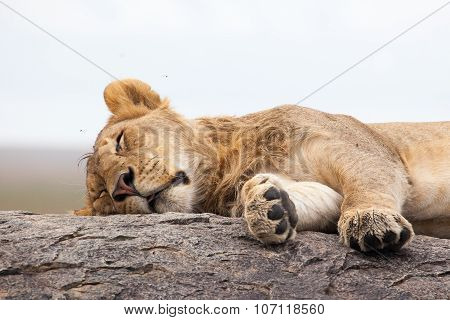 Lioness slthe roceeping