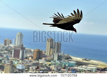 The American Vultures (cathartidae Lafresnaye) Soars Over Havana Cuba.