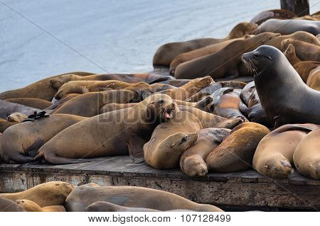 The Well-known Pier 39 In San Francisco With Sea Lions. Animals Are Heated On Wooden Platforms..