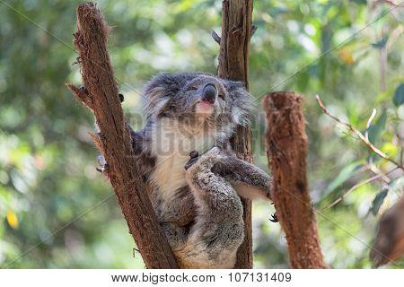 A wild Koala climbing a tree. Koala Bear in zoo.