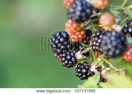 Dewberries on a shrub. Macro shot. On a branch macro