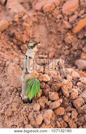 Cassava Cuttings Plug