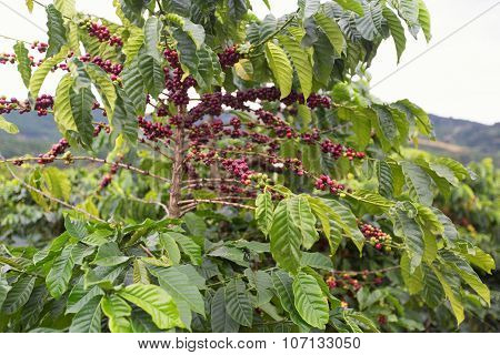 Coffee beans ripening on tree in Dalat Vietnam