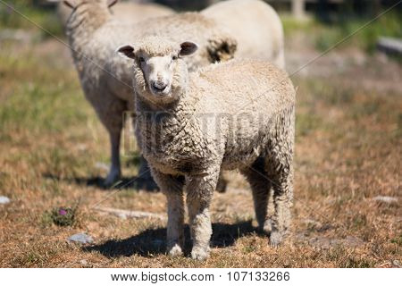 Sheep At A Pasture In New Zealand