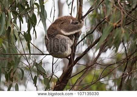 Australian Baby Koala Bear. A wild Koala climbing a tree.