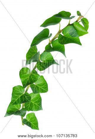 Beautiful Green Twig Of Straight Ivy Hedera Is Isolated On White Background, Closeup