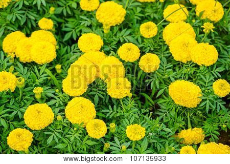 Beautiful Blooming Yellow Marigolds Tagetes Erecta Flowers Background, Closeup