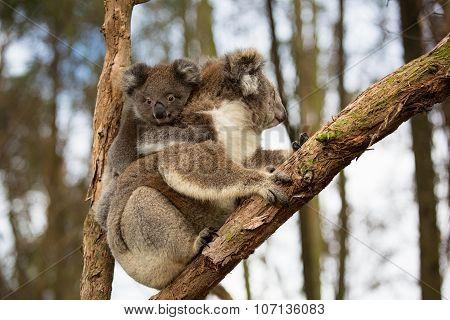 Australia Baby Koala Bear And Mom.