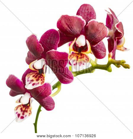 Flowering Twig Of Beautiful Dark Purple Orchid, Phalaenopsis Is Isolated On White Background, Closeu
